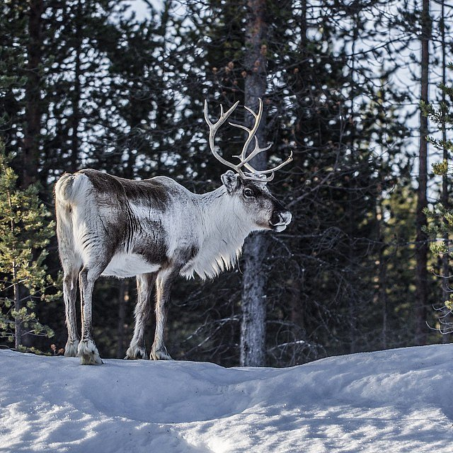 Last day in Sweden and north of the polar circle... Meet this guy on my way to the AirPort. Spent a day in Stockholm working for @first.hotels.official and tomorrow back to Denmark again  #raisfoto #polarcircle #sweden #nature #reindeer #beautiful #picoft